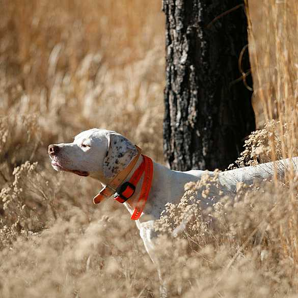 English Pointer Quail Hunting dog.