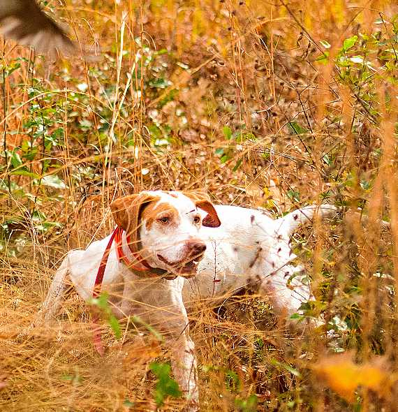 English Pointer Hunting dog.